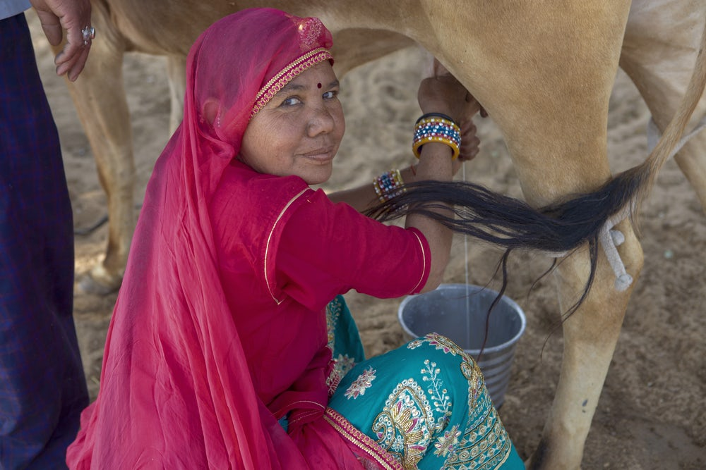 An Indian woman wearing pink garments looks over her shoulder at the camera while she milks a cow.