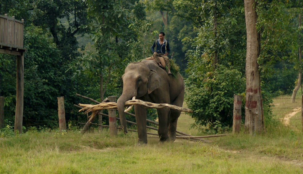 Samir the elephant gathers firewood at Banke National Park. Photo by Joe Tobiason.