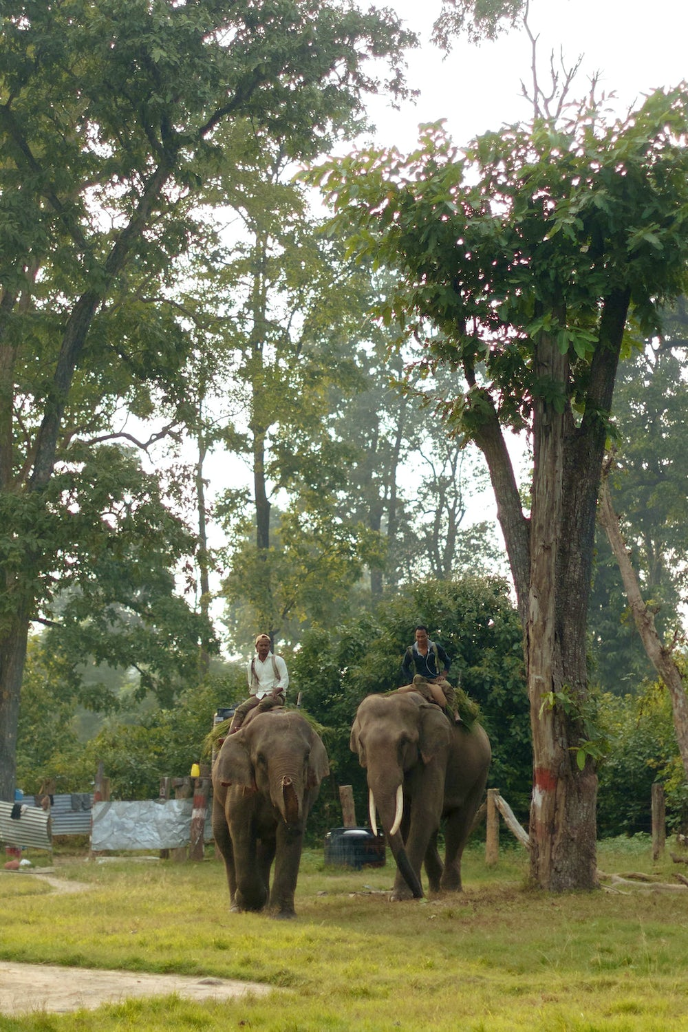 Mahouts, or elephant riders, guide elephants Samir and Ganesh inside Banke National Park. Photo by Joe Tobiason.